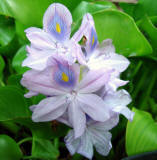 water hyacinth aquatic pond plant