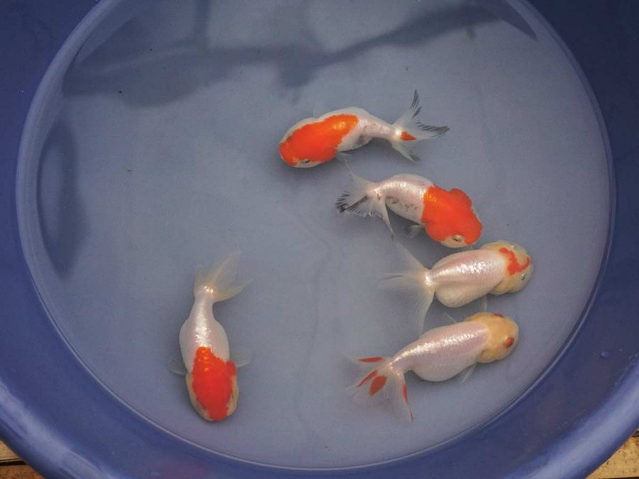 Imported Chinese Goldfish At Hydrosphere The Pond Experts