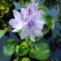 Pond advice Clear water plants