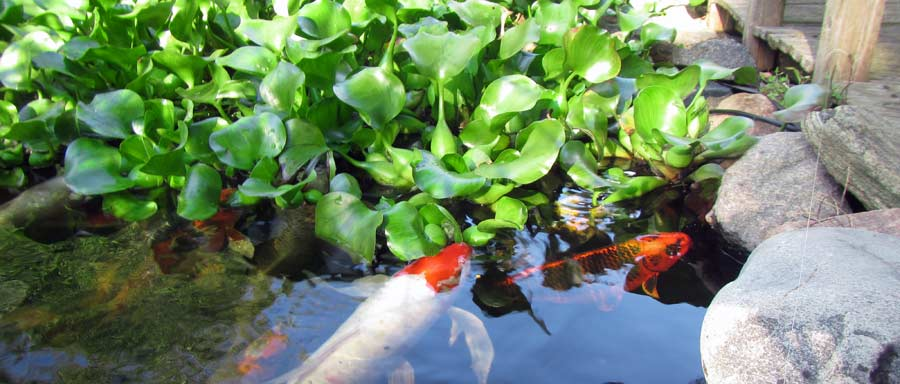 Pond plants hydrosphere the koi pond experts for Water filtering plants for ponds