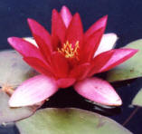 water lily aquatic pond plant
