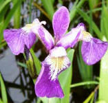 blue iris clear water pond plant