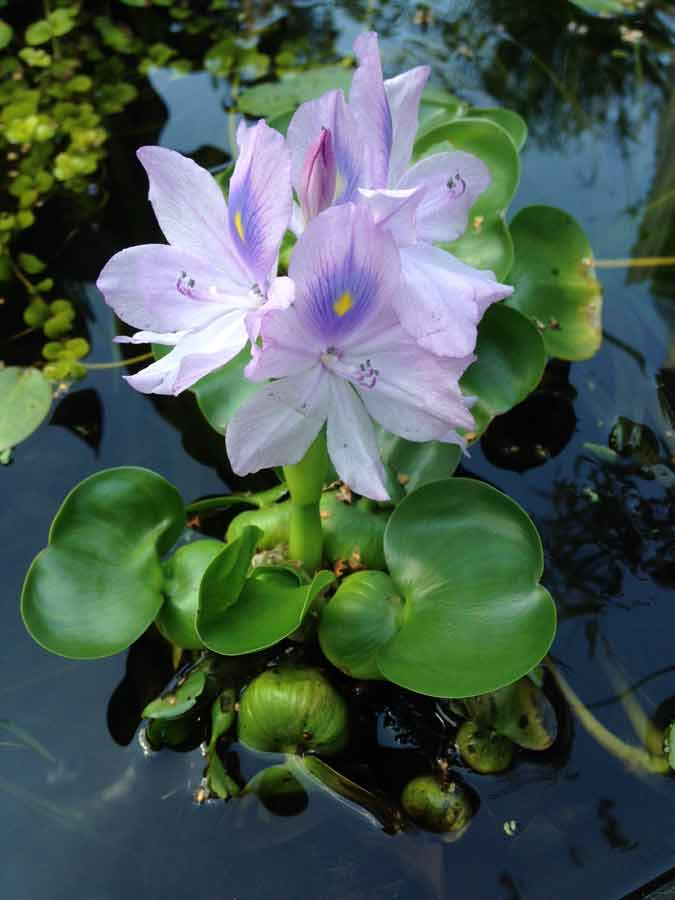 Clear water pond plants hydrosphere water gardens for Best pond plants for filtering