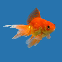 keeping pond fish - goldfish