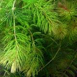 hornwort oxygenating pond plant