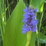 aquatic pond pickerel plant
