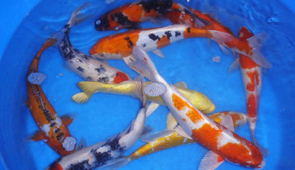 "10-12"" domestic koi"