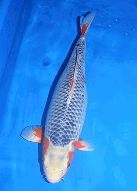 Koi varieties guide hydrosphere the koi pond experts for Koi variety chart