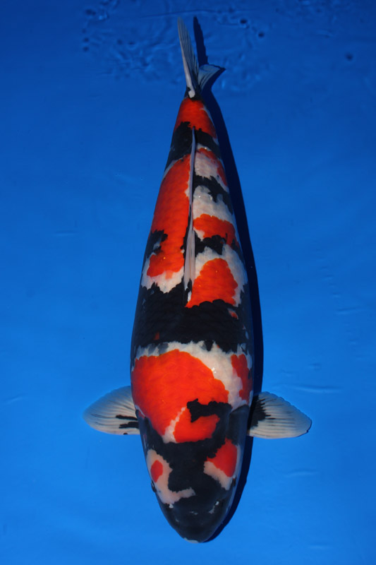 Koi varieties guide hydrosphere the koi pond experts for Keeping koi carp in a pond