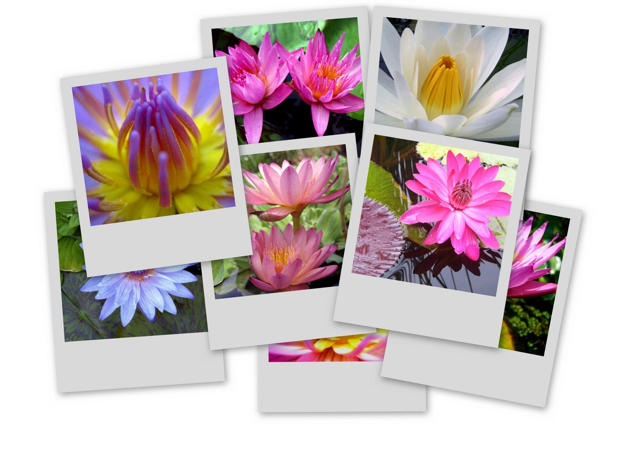 Tropical water lily photos