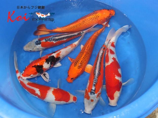 30-35 cm aka matsuba, kohaku & shusui Japanese koi from Mano