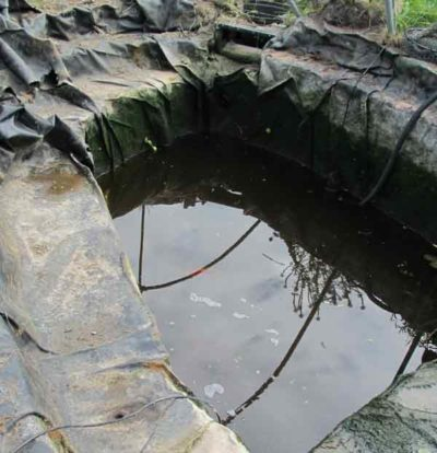pond predator muskrat