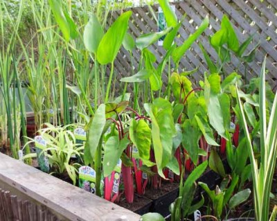 Hydrosphere water gardens blog what 39 s new at hydrosphere for Garden pond plants for sale