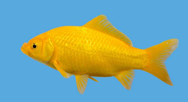 Hydrosphere Water Gardens Yellow Comet Goldfish Are Here - Hydrosphere ...