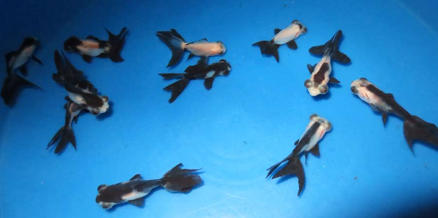 Goldfish hydrosphere the koi pond experts for Koi fish for sale california