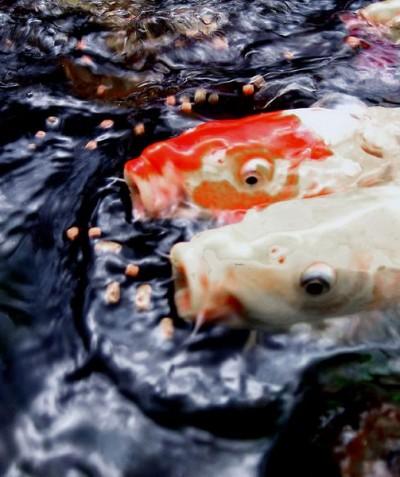 Hydrosphere water gardens koi feeding frenzy photos for Koi feeding