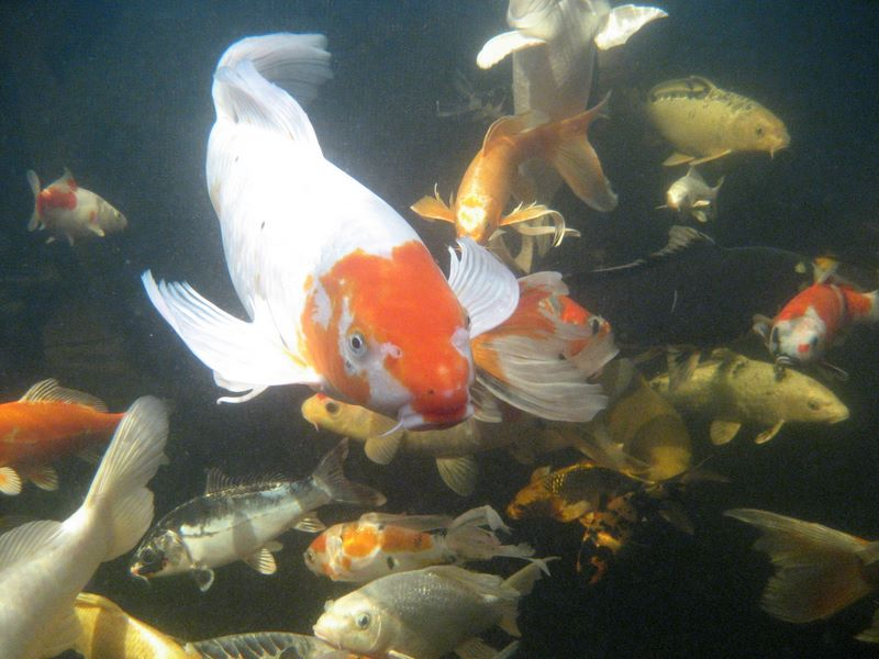 Koi photos underwater view 2 hydrosphere water gardens for Koi treatment