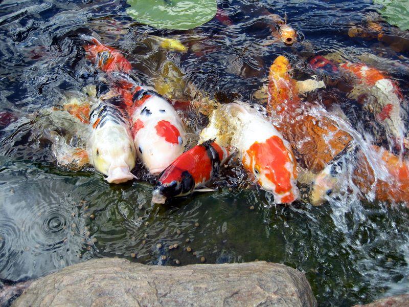 Koi feeding frenzy photos hydrosphere water gardens for Goldfish pond designs