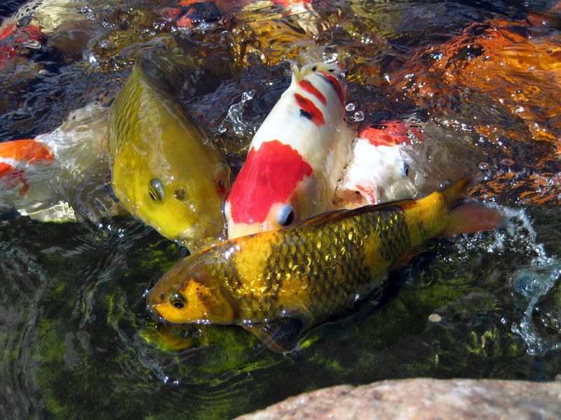 Koi feeding frenzy photos hydrosphere water gardens for Koi feeding