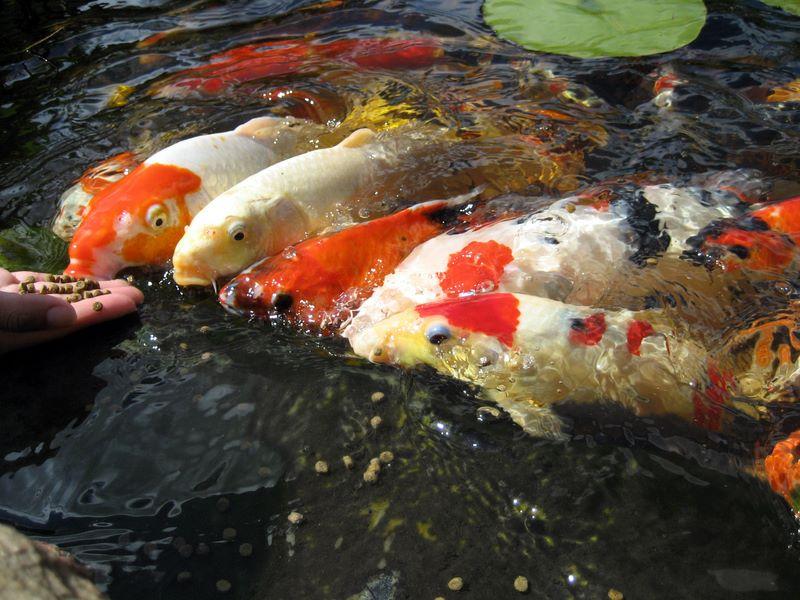 Koi feeding frenzy photos hydrosphere water gardens for Goldfish pond liner