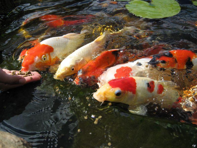 Koi Feeding Frenzy Photos Hydrosphere Water Gardens