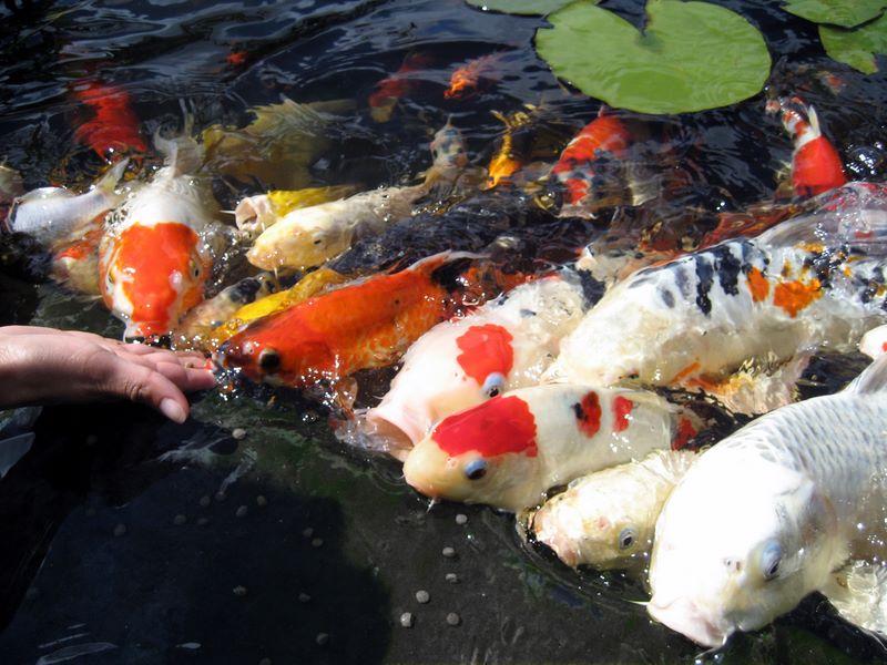 Koi feeding frenzy photos hydrosphere water gardens for Koi fish pond care in winter