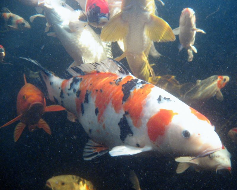 36321 >> Koi Photos Underwater View - Hydrosphere Water Gardens