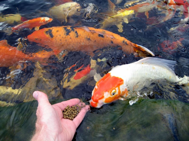 Hand feeding koi photos hydrosphere water gardens for Koi fish pond care in winter