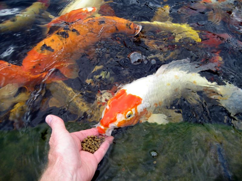 Hand Feeding Koi Photos Hydrosphere Water Gardens
