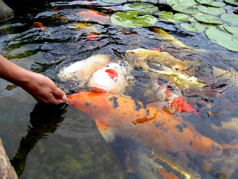 Hand feeding koi photos hydrosphere water gardens for Goldfish pond liner