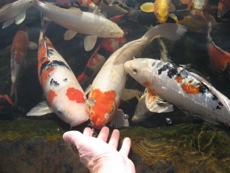 Hand feeding koi photos hydrosphere water gardens for Can you eat koi fish