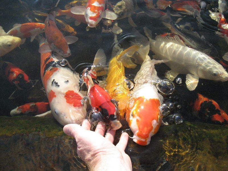Hand feeding koi photos hydrosphere water gardens for Can you eat koi fish