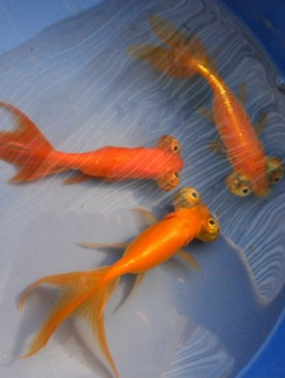 Hydrosphere water gardens koi and goldfish photos for Japanese koi fish wholesale