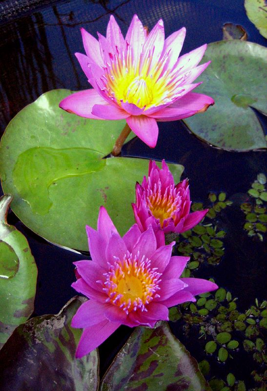 Tropical Water Lily Photos Hydrosphere Water Gardens