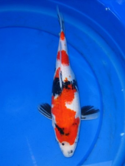 Hydrosphere water gardens koi and goldfish photos for Japanese koi fish wholesale