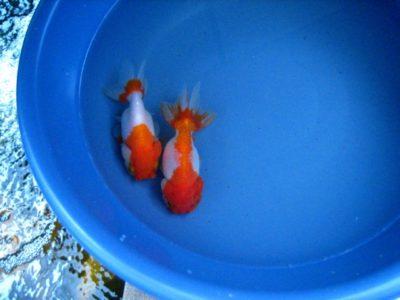 lionhead goldfish