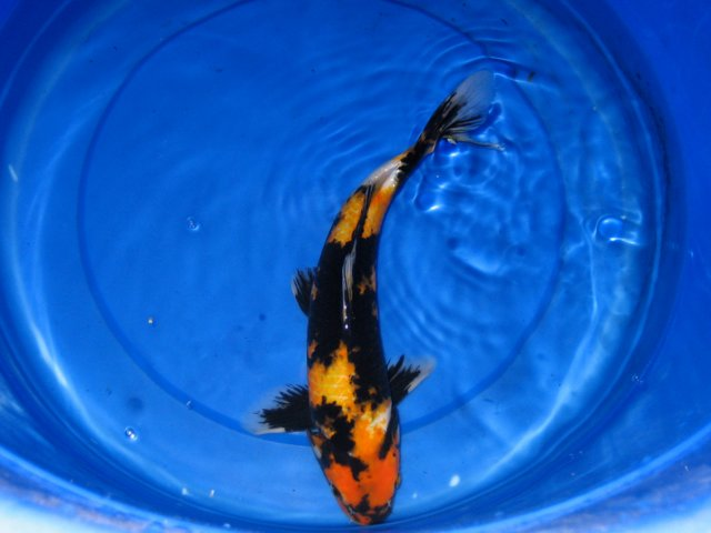 Koi and goldfish photos hydrosphere water gardens for Koi fish for sale california
