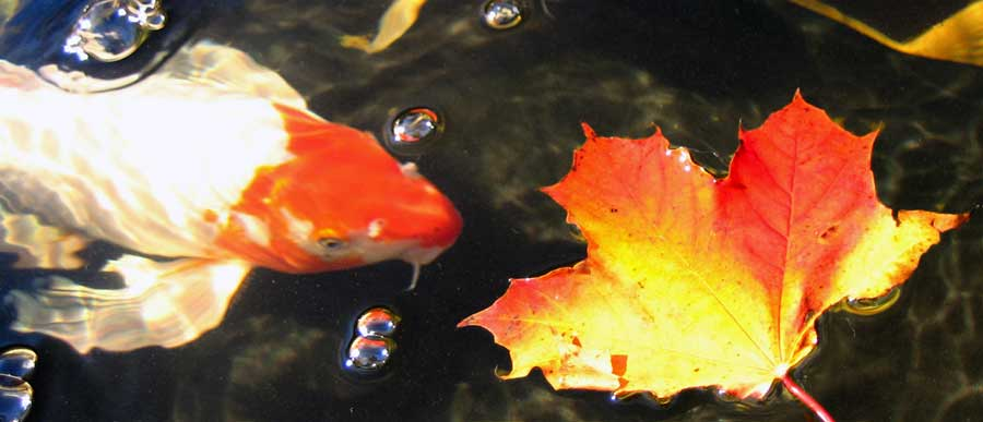 fall koi pond products