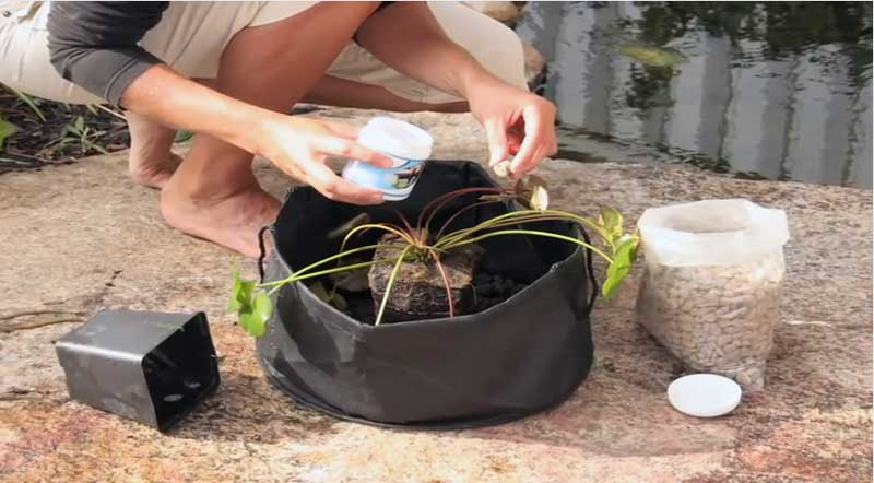 How To Plant A Water Lily