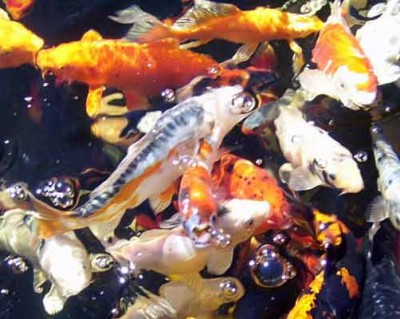 Hydrosphere water gardens blog what 39 s new at hydrosphere for Koi pond temperature