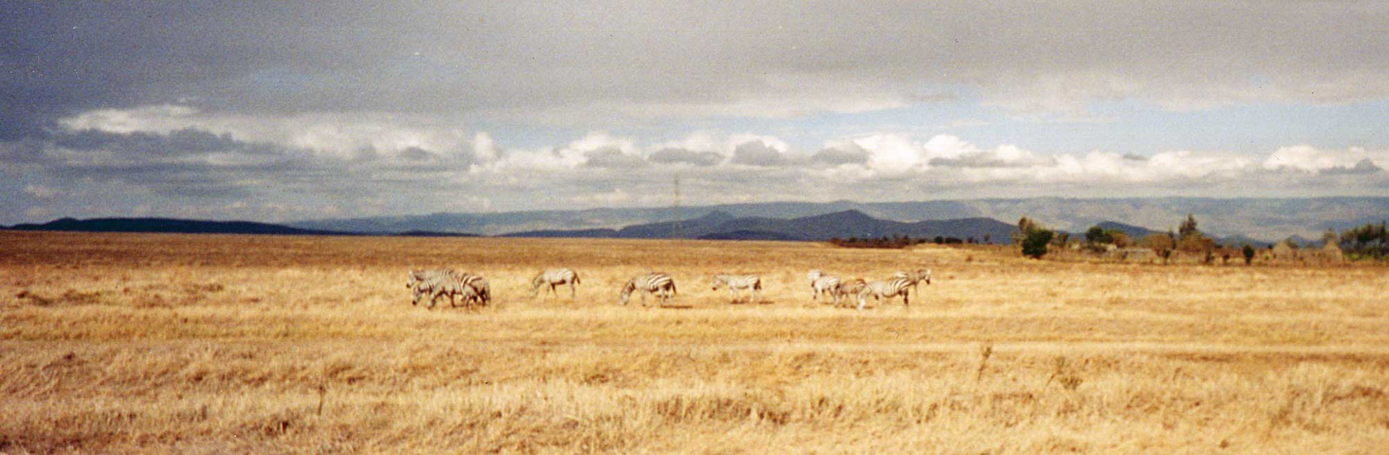 kenya rift valley zebra