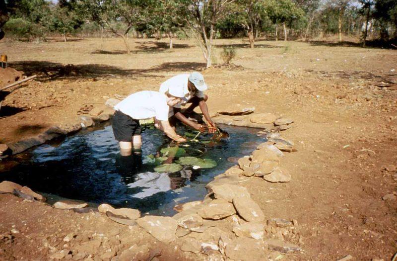 planting water lilies in display pond