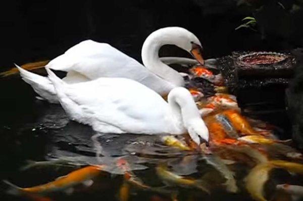 swans fedding koi