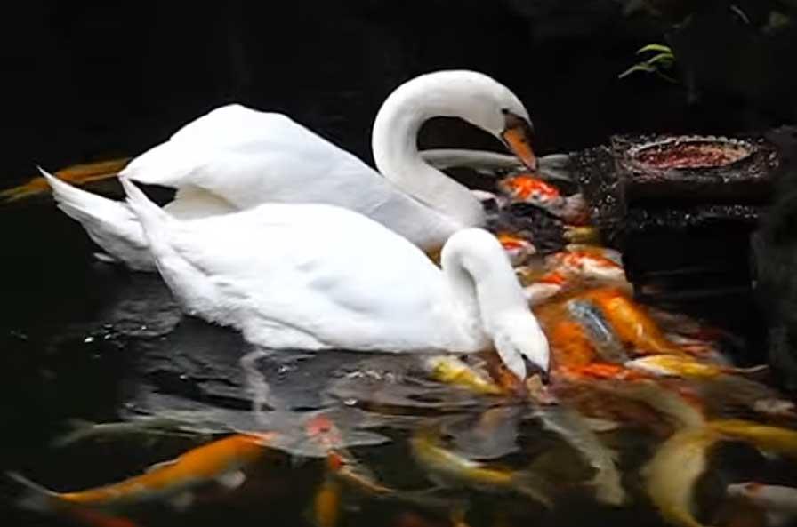 Swans feeding archives hydrosphere water gardens for Koi feeding