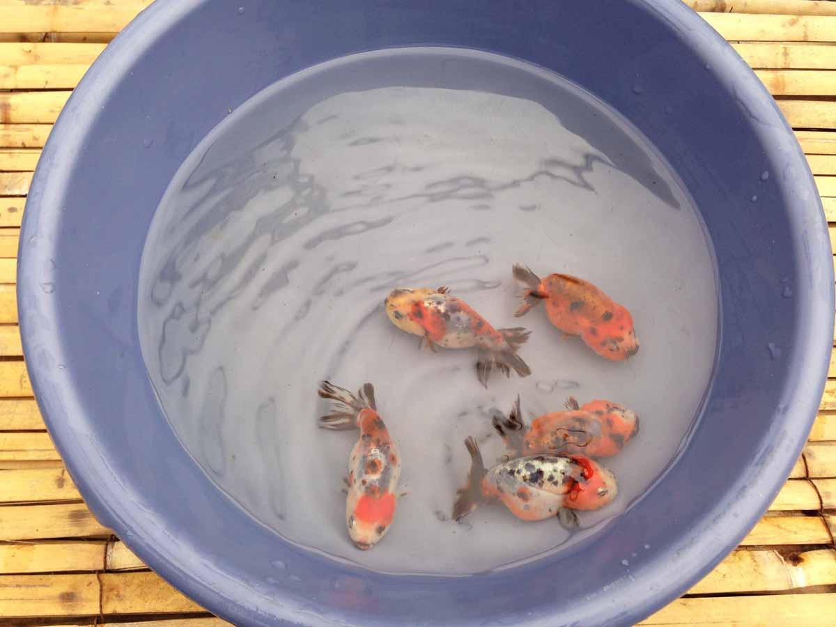 Chinese Calico Ranchu Goldfish
