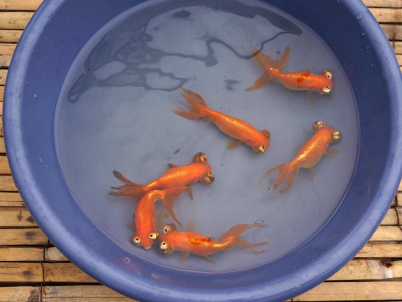 Chinese Celestial Eye Goldfish