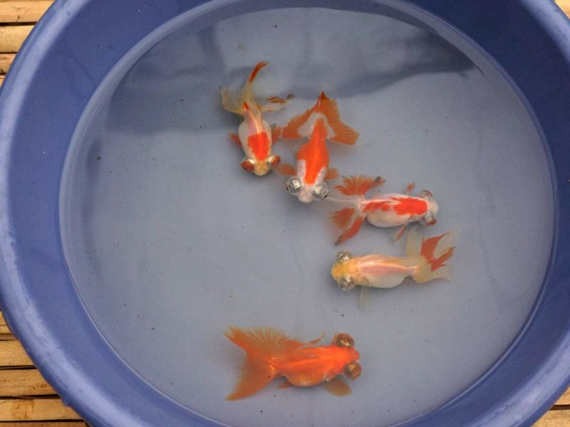 Chinese Red and White Butterfly Goldfish