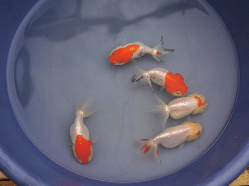 Chinese Red and White Lionhead Goldfish