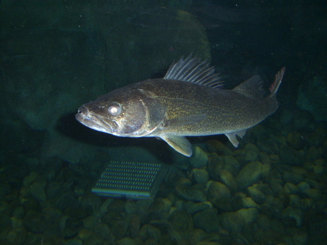 Bass Pro Shops Longnose Gar Walleye