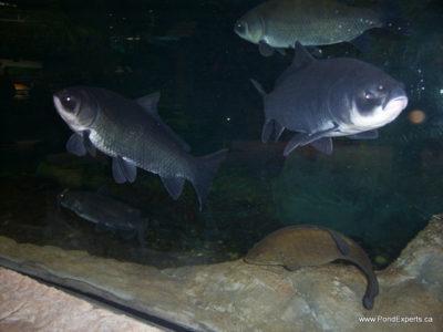 Bass Pro Shops Bigmouth Buffalo